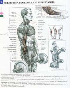Flexión de Bíceps con Barra